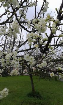 au bellefleur blossom