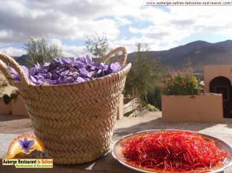 le Safran de Taliouine - sud Maroc
