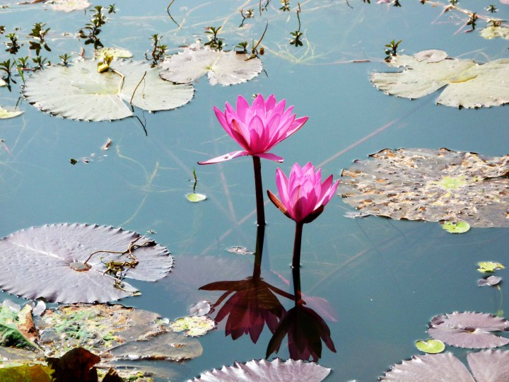lotus laos lac