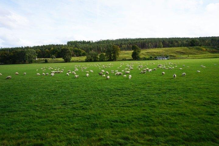 rivière-Enrick-troupeau-moutons-Ecosse