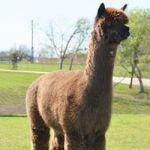 Alpaca Herdsires — Irish Meadows Peruvian Flashpoint