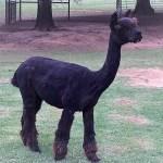 Alpaca Dams — WNX Peruvian Black-Pearl
