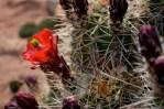 Cactus bloom in Sedona, Arizona