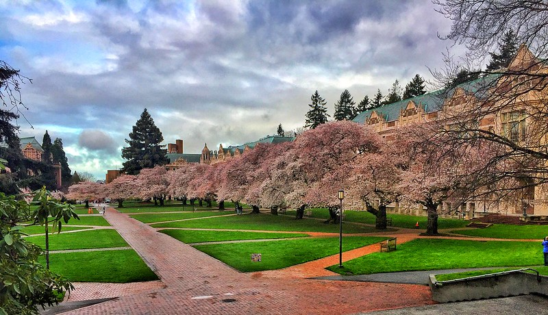 Uw, University of Washington, us cherry blossom
