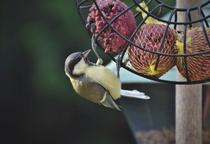 birdfeeder, songbird, DFW, WDFW, wild bird, song bird wa, songbird bird feeder, songbird eating