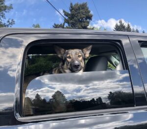 Max, a German Shepherd mix dog, looking out the window of a black pick up truck
