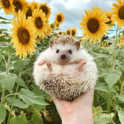 A hedgehod being held up in a sunflower field