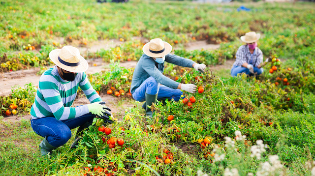Group of farmworkers in protective face masks checking diseased tomatoes damaged by pests on field. Concept of respiratory infection prevention