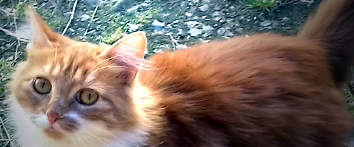 Janis, chatte rousse à poil long à adopter