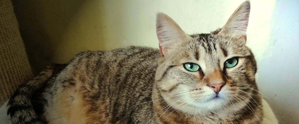 Chatte tigrée aux yeux verts allongée à adopter