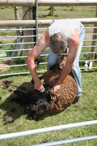 shearing underway