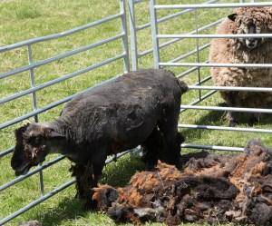 all sheared