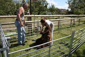 nicole shearing sheep