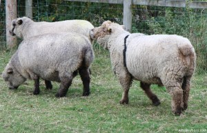 ginger-and-ewes