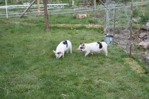 pigs emerging into large run