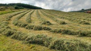 hay rowed up