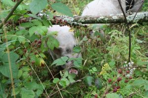 pigs in the undergrowth