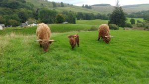 highland cows bluebell ivor and texa