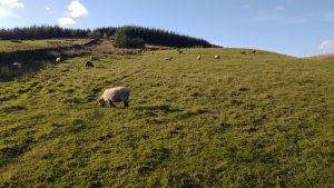 sheep happy in autumn sunshine