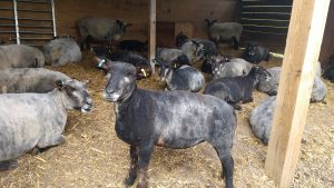 Sheep resting in lambing shed