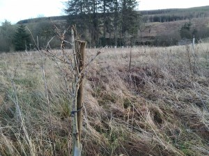 trees planted at auchenstroan