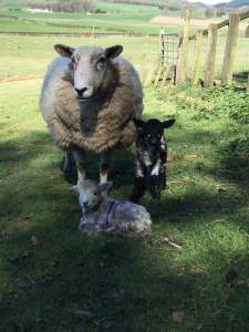 Christine's Herdwick x Texel sheep with lambs