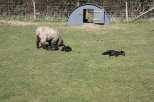 lambs in field on Good Friday