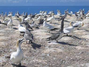 Gannet Colony NZ