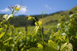 Waiheke Wine Plant