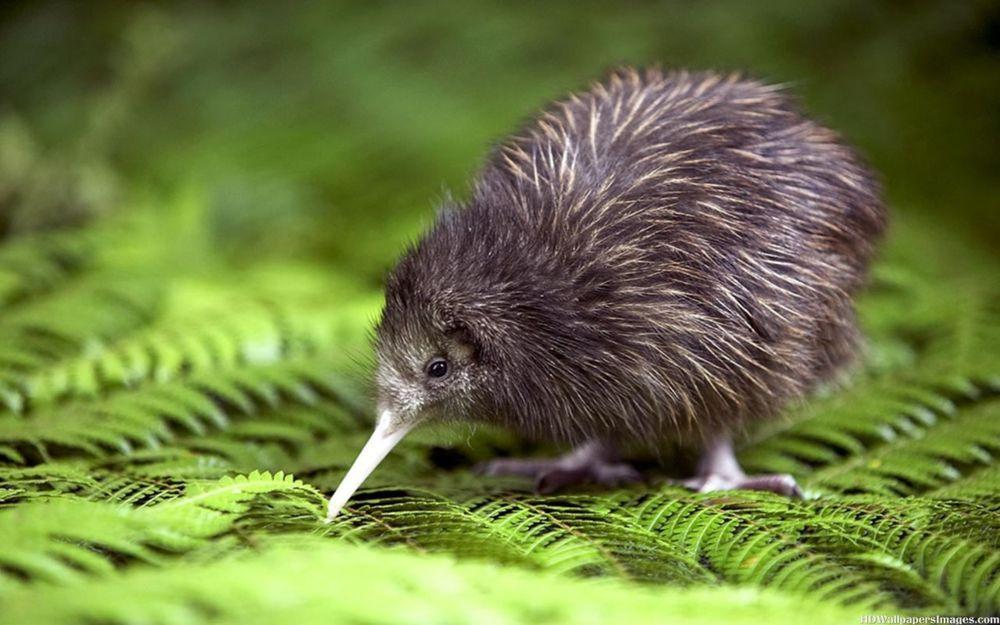 Kiwi Bird Spotting in the North Island of New Zealand