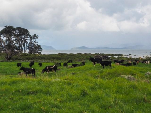 Cows Near Aucklands Avocado Orchard - Otuataua Stonefields