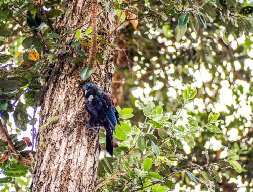 Tui Bird in a Tree - Street Photography Auckland