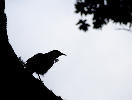 Tui Bird Hiding in the Shadows - Street Photography Auckland