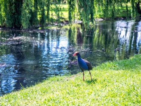 Pukeko and Willows at Portland Reserve - Remuera