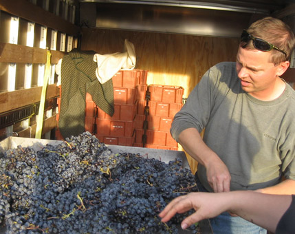 Charlie Aucliar sorting grapes