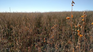 Sun hemp is finally terminated, but dwarf Essex rape continues to live