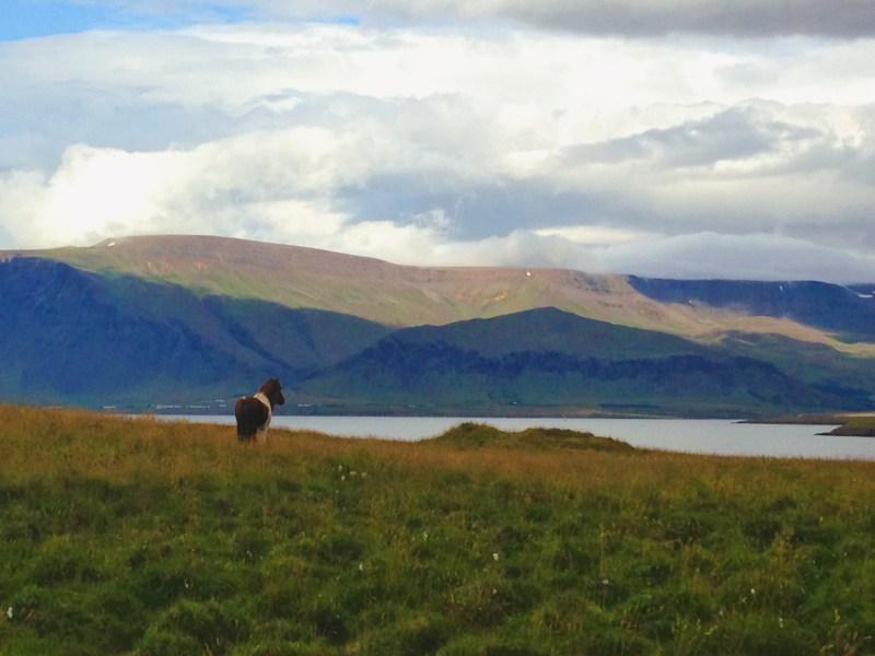 Cheval sur l'île Viðey