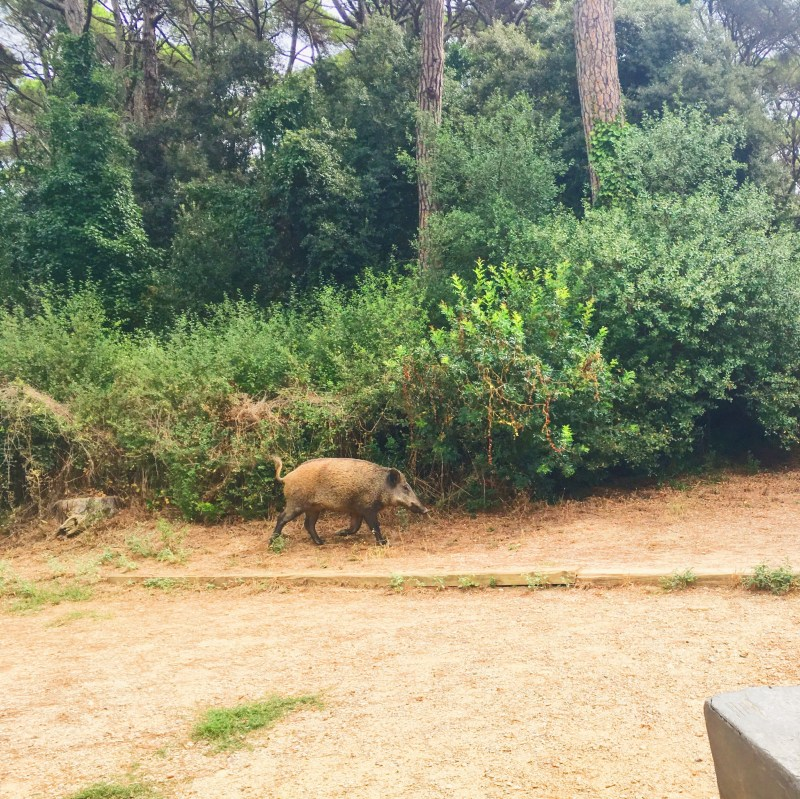 Boar in Parc Natural de la Serra de Collserola