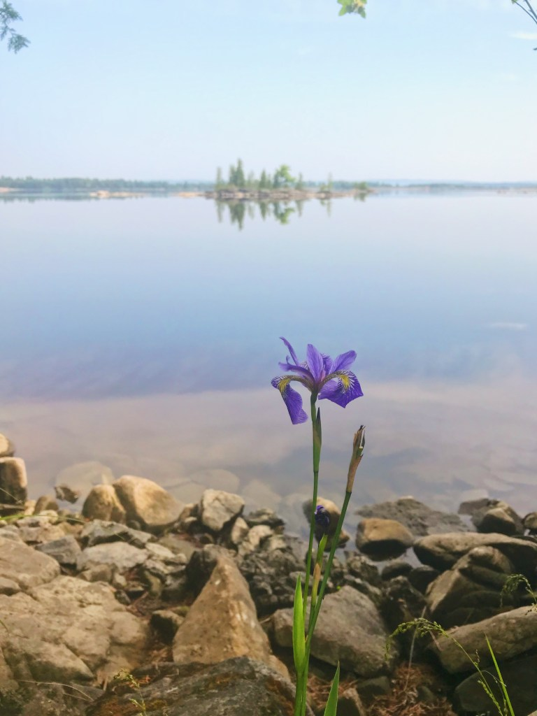 Iris à Morris Island
