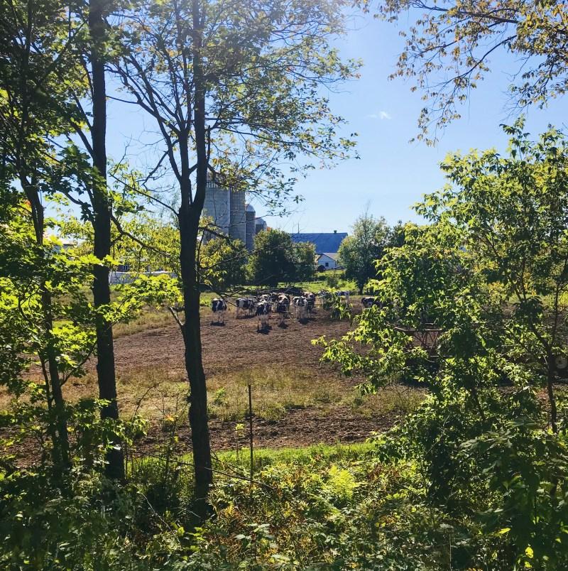Des vaches près de Plantagenet