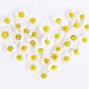 daisy-1535532_1920