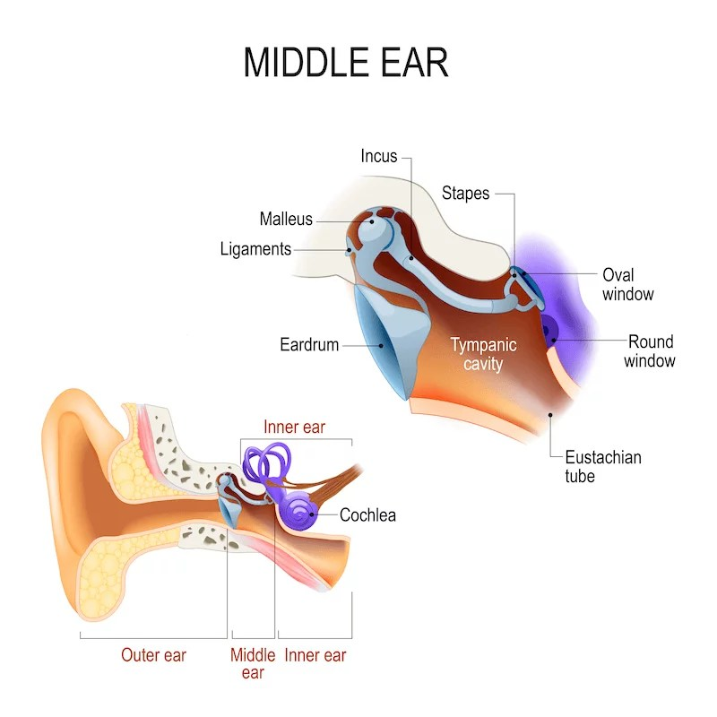 The Anatomy of the Middle Ear - AudioCardio - Sound ...