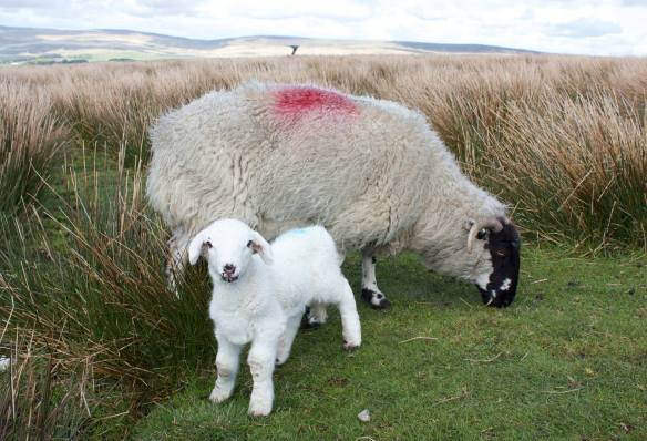 Ewe with her Lamb near the Singing Ringing Tree
