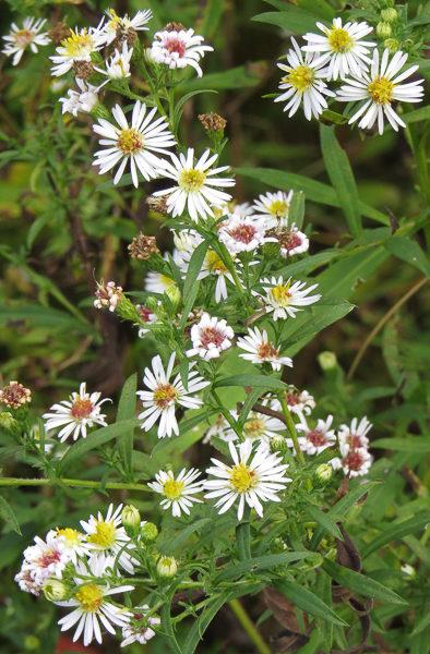 White Wildflowers Seot 2016
