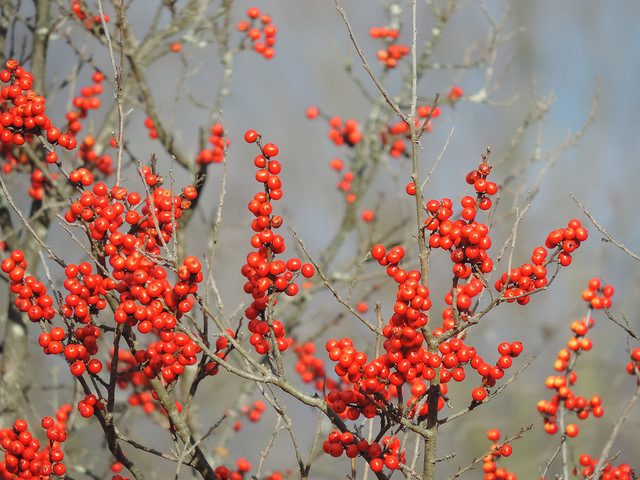 Winterberry Holly is a native shrub found in wet areas but can also be a colorful addition to a garden. Only the female plants produce the attractive red berries. Photo by Katie Finch