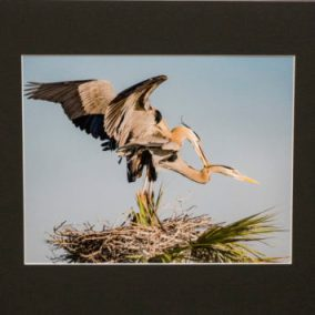 Great Blue Herons Photograph - Lee Stein