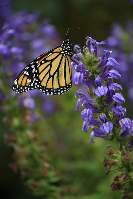 Monarchs by David Lobb