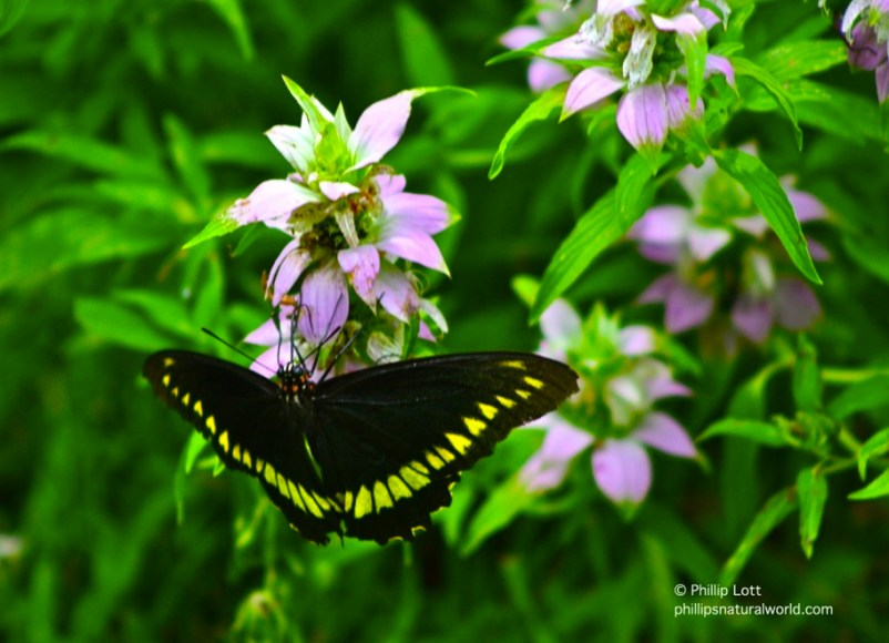 horsemint with butterfly