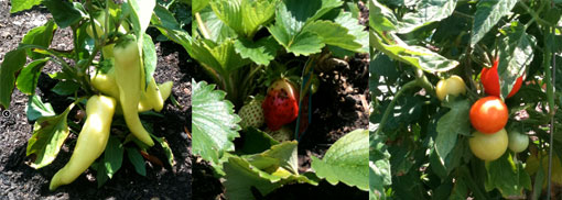 Community_garden_strip strawberries