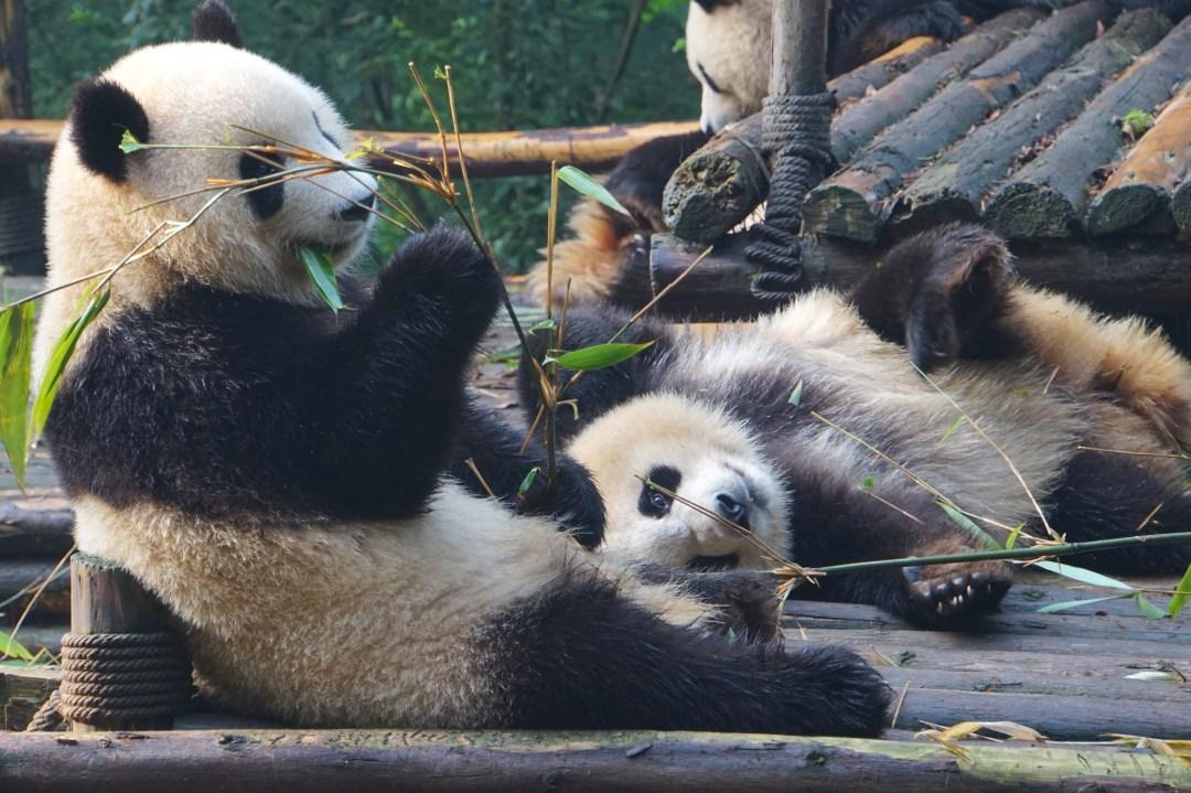 pandas-chine